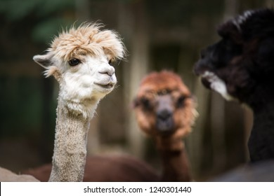 white alpaca talking with brown and black alpacas. Three alpacas discuss about politics.