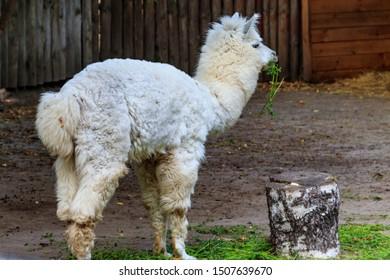 White alpaca (Vicugna pacos) on farmyard