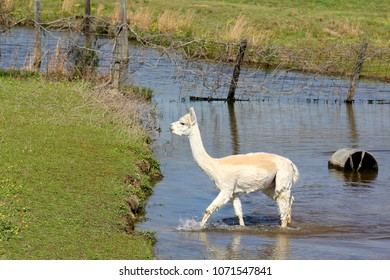 White Alpaca in Water - Photograph of a young and freshly sheared alpaca crossing through water to get to a field.  Selective focus on the alpaca.