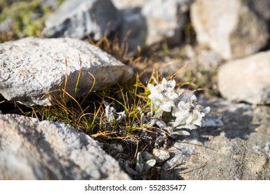 White alpine edelweiss flower growing between rocks and stones