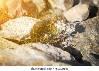 White alpine edelweiss flower growing between rocks and stones with the sun glow in the corner