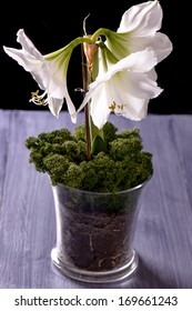 White amaryllis flower on purple table