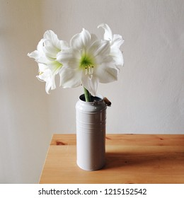 White amaryllis in full bloom in vase, wooden rustic table, white background. Christmas house decorating. Floral still life