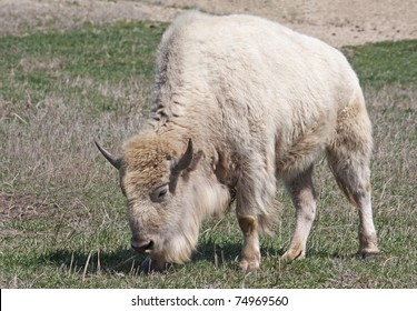 A white American Bison grazing in a field
