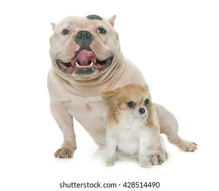 white american bully and chihuahua in front of white background