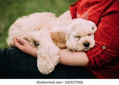 White American Cocker Spaniel Dog Sleeping On Woman's Hand.