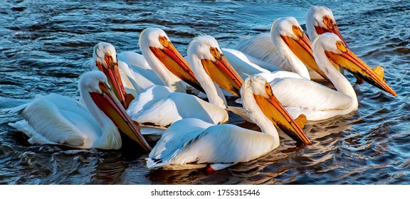 white American Pelican on the river
