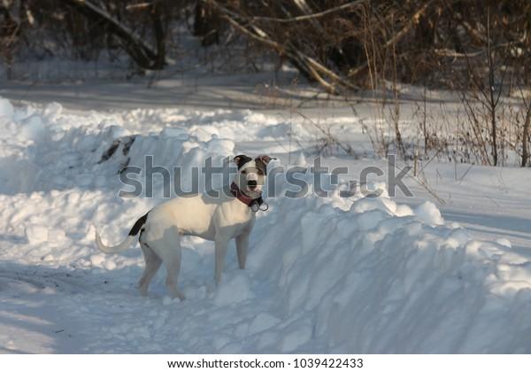 white American pit bull terrier