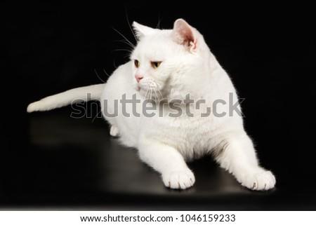 White American Shorthair Cat Stock Photo Edit Now 1046159233