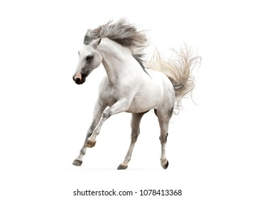 white andalsuian horse isolated on white background