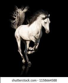 White Andalusian horse with black legs and mane galloping isolated on black background
