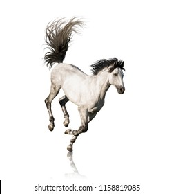 White Andalusian horse with black legs and mane galloping isolated on white background