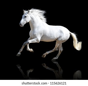 White Andalusian horse isolated on the black