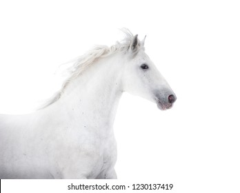 white andalusian horse isolated on white background