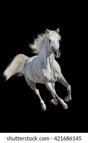 White andalusian horse with long mane run gallop isolated on black background