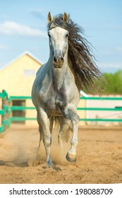 White Andalusian horse portrait