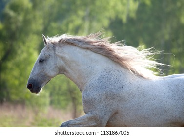 white andalusian horse portrait in backlight