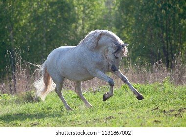 white andalusian horse runs free in summer field