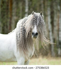 white andalusian shaggy horse portrait in windy spring day