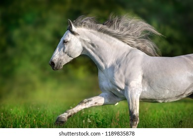 White andalusian stallion with long mane run gallop