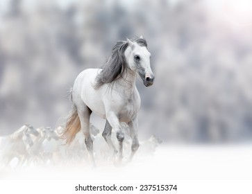 white andalusian stallion in winter with herd