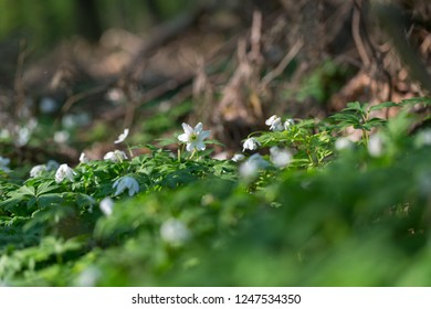 White anemone blooming in spring forest. Wood flowers in polish spring forest.