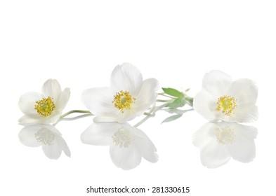 White anemone flowers  isolated on white background