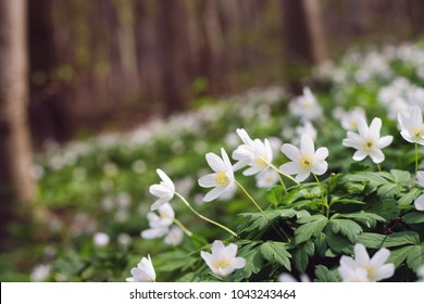 White anemone flowers in spring forest