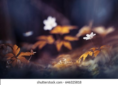 White anemone flowers in spring on a forest glade in the rays of light in golden and brown tones macro with a soft focus. Spring background. Magical delightful artistic image.