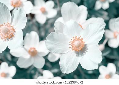 White anemone flowers, stylized