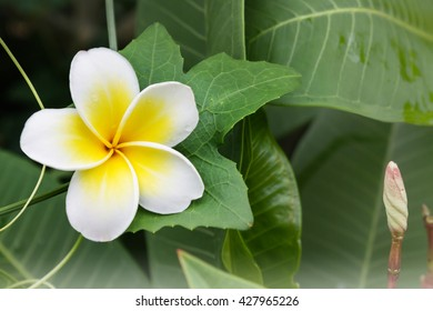White anf yellow flower plumeria or frangipani with fresh coccinia grandis leaf and creeper background, greenery fresh nature background flower frangipani and plumeria and happy morning mood