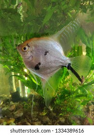 White angelfish in freshwater aquarium.