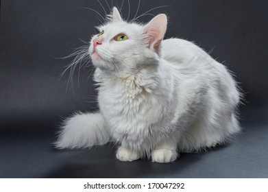 White angora cat on grey background