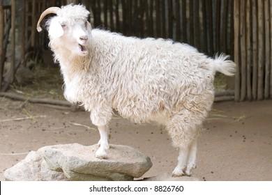 Angora goat clipart 11x14 angora goat graphic download antique goat digital  image etsy   Stevana.captainamericagifts.com