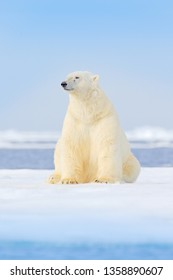White animal in the nature habitat, Europe. Wildlife scene from nature. Dangerous bear sitting on the ice, beautiful blue sky. Polar bear on drift ice edge with snow and water in Norway sea.