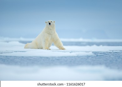 White animal in the nature habitat, north Europe, Svalbard, Norway. Wildlife scene from nature. Dangerous bear and beautiful evening sky. Polar bear on drift ice edge with snow and water in sea.