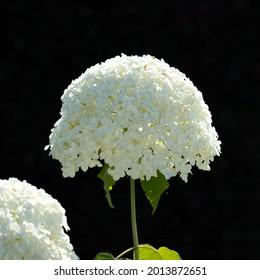 A white Annabelle Hydrangea flower, close up with a dark background.