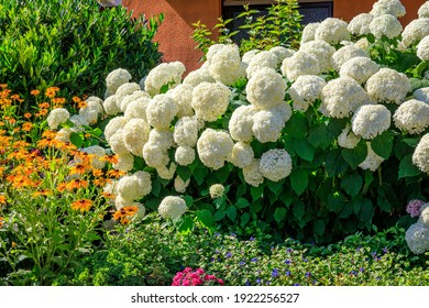 White Annabelle Hydrangea flowers, close up. Hydrangea macrophylla blooms in sunny day, closeup. Smooth Hydrangea Annabelle (Hydrangea arborescens) blossoms