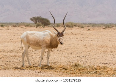 The white antelope, Addax nasomaculatus, also known as the screwhorn antelope in Yotvata Hai Bar Nature Reserve, Israel.