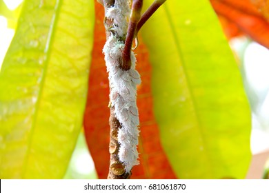 White aphids on many branches.Harmful to the tree Dead tree.Weed