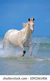 White Appaloosa Horse galloping in ocean surf, Pacific ocean,