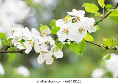 White Apple Blossoms on an Apple Tree Branch