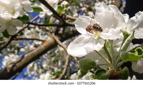 white apple blossoms in spring and bee on flower