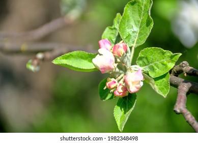 white apple blossoms, apple tree - Shutterstock ID 1982348498