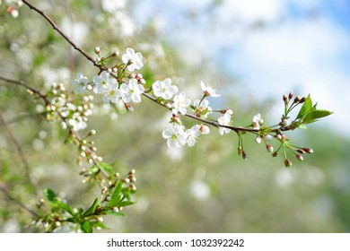 White Apple Flowers. Beautiful flowering apple trees. Soft focus