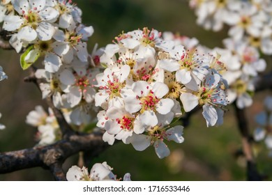 White Apple Flowers. Beautiful flowering apple trees. Background with blooming flowers in spring day.