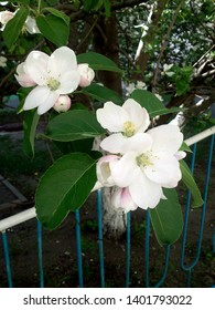 White apple flowers. Blooming apple tree with big blossoms
