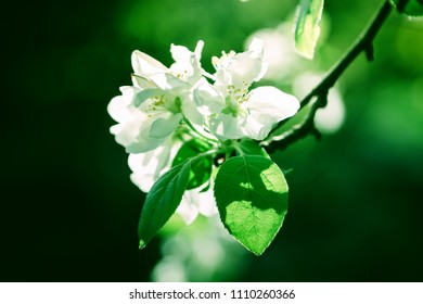 White apple flowers blossom on tree. Nature beautiful floral pastel background