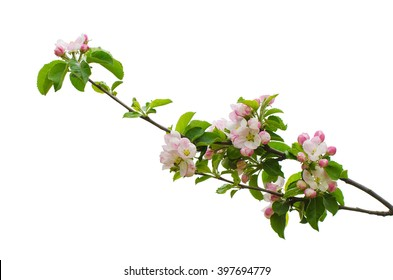 White apple flowers branch isolated on white background, design element