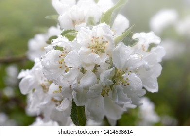 White Apple flowers in the morning fog. Branch of a flowering Apple tree after the rain on a green background. Large drops of rain on the petals of flowers. It's spring.